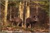 wildzwijn-twee-zeugen-wild-pigs-two-sows-copyright-yvonnevandermey