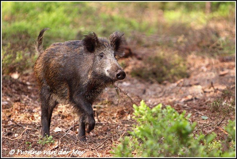 Wild Pigs Yvonne Van Der Mey