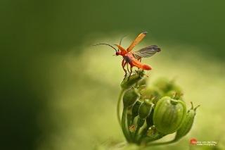 Bijna-vliegend-rood-soldaatje-copyright-YvonnevanderMey