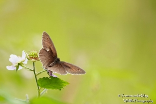 Bruin-Zandoogje-zonder-copyright-YvonnevanderMey