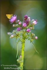 Distel-met-vlinders-copyright-YvonnevanderMey