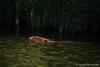 Bever-zwemmend-copyright-YvonnevanderMey