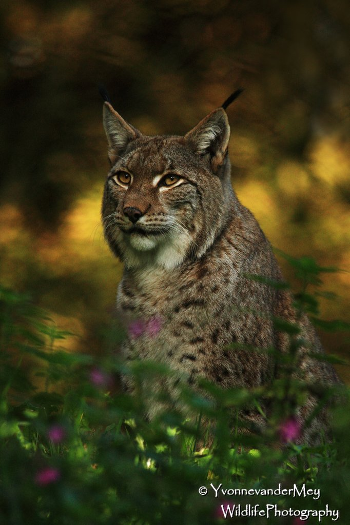 Europese-Lynx-close-copyright-YvonnevanderMey