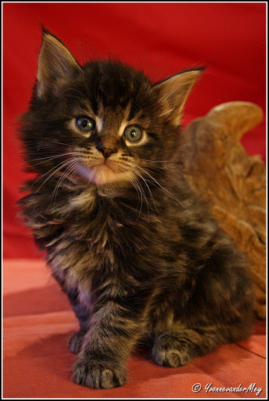 Kitten1-Dille-copyright-YvonnevanderMey