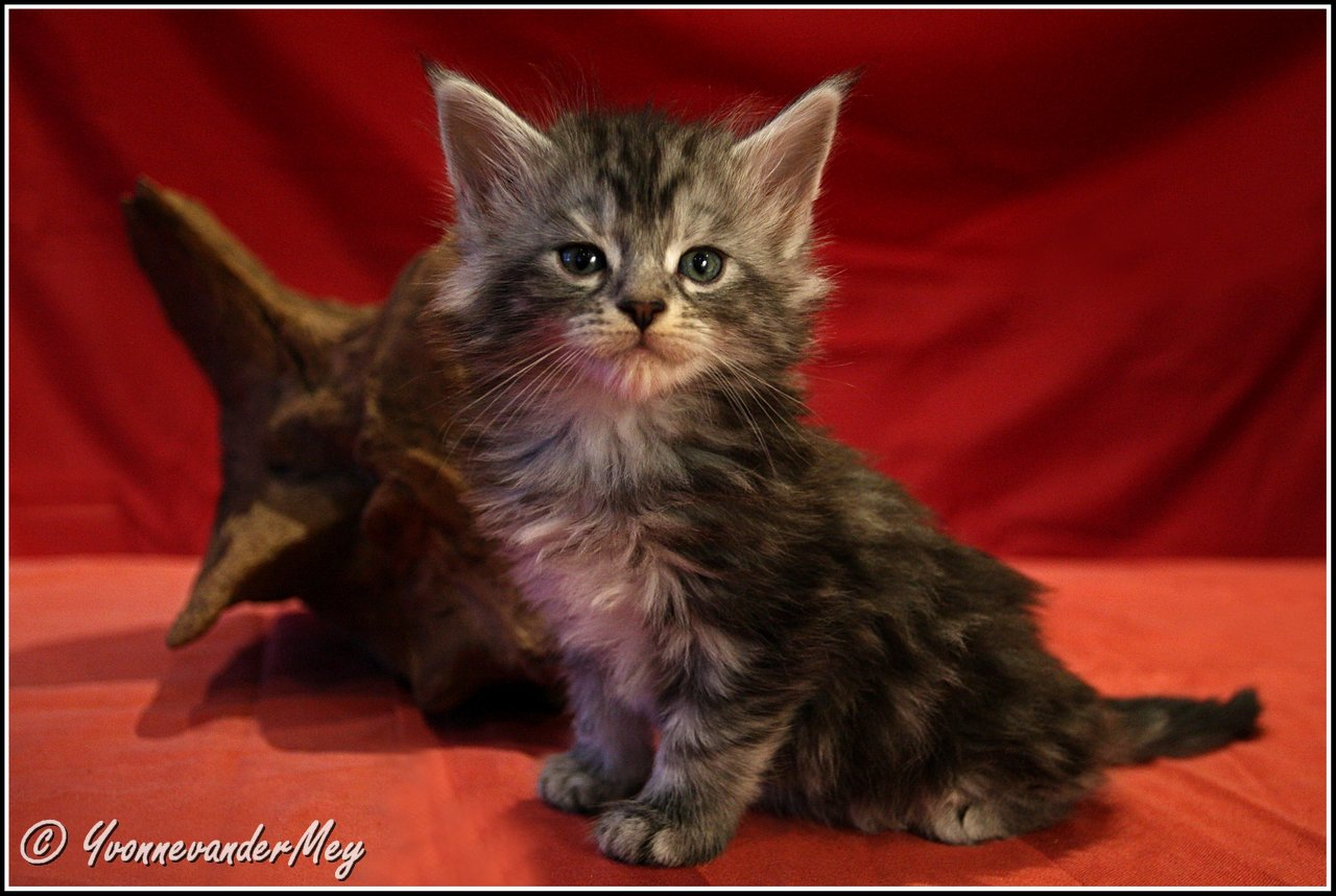 Kitten3-Dille-copyright-YvonnevanderMey