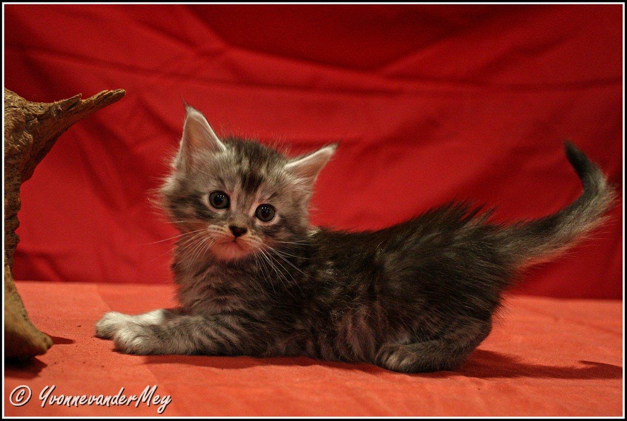 Kitten4-Dille-copyright-YvonnevanderMey