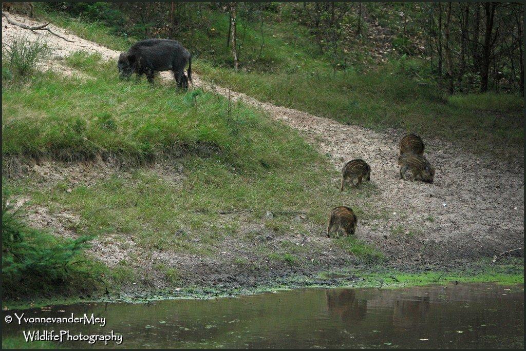 Rotte-wilde-zwijnen-bij-water-copyright-YvonnevanderMey