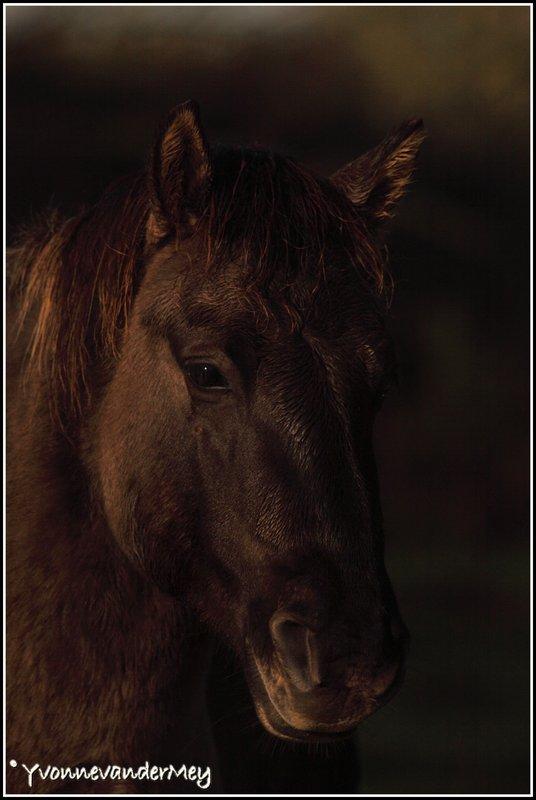 Wild-paard-copyright-YvonnevanderMey