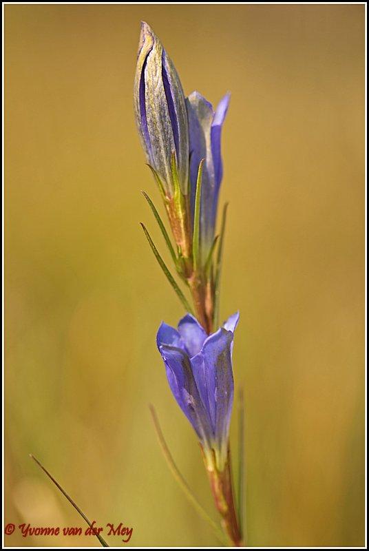 Blauwe gentiaan (Copyright Yvonne van der Mey)