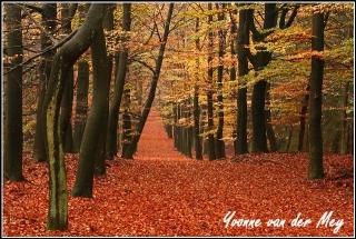 Beukenlaan in herfstkleuren (Copyright Yvonne van der Mey)