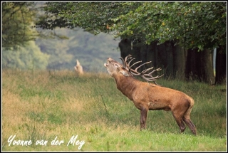 Burlend edelhert (Copyright Yvonne van der Mey)