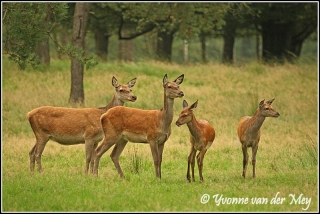 Edelherthindes (Copyright Yvonne van der Mey)