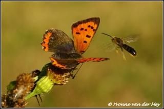 Kleine vuurvlinder met vlieg / Small copper with fly (Copyright Yvonne van der Mey)