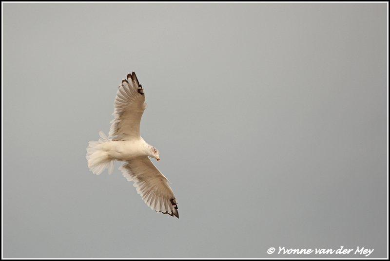 Meeuw / seagull (Copyright Yvonne van der Mey)