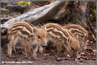 Wild zwijn biggetjes / Wild boar piglets (Copyright Yvonne van der Mey)