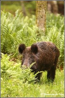 Wild zwijn / Wild boar (Copyright Yvonne van der Mey)