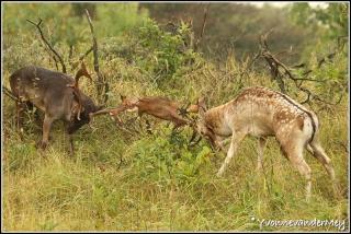 Damhert-gevecht-copyright-YvonnevanderMey