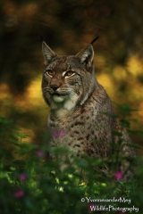 Europese-Lynx-close-copyright-YvonnevanderMey