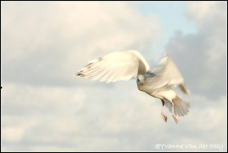 Sierlijke-Meeuw-copyright-YvonnevanderMey