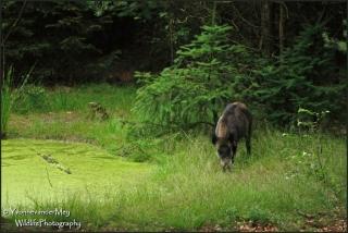 Wild-zwijn-bij-zoel-copyright-YvonnevanderMey