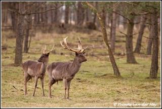 Damherten / fallow-deer (Copyright Yvonne van der Mey)