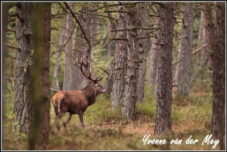 Edelhert in bronst leuvenumse bossen (Copyright Yvonne van der Mey)