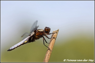 Gewone oeverlibel / Blacktailed skimmer (Copyright Yvonne van der Mey)