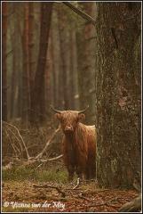 Schotse hooglander deelerwoud (Copyright Yvonne van der Mey)