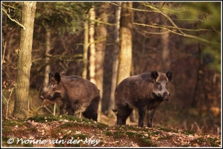 Wildzwijn twee zeugen / Wild pigs two sows (Copyright Yvonne van der Mey)