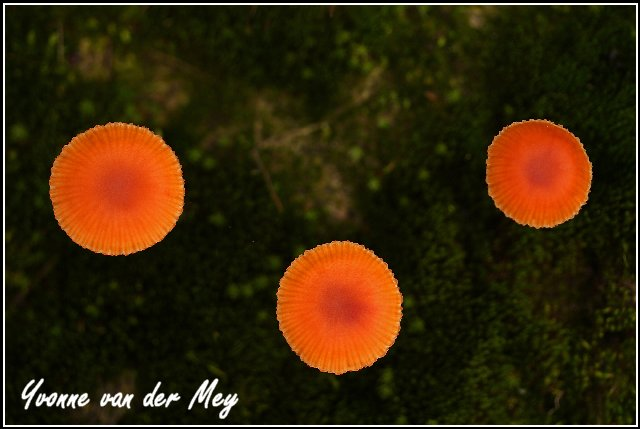 Oranje paddenstoelen Copyright Yvonne van der Mey