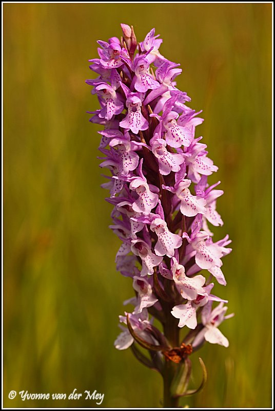 Orchis (Copyright Yvonne van der Mey)