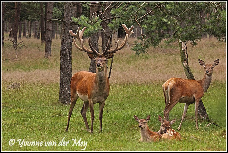 Roedel edelherten (Copyright Yvonne van der Mey)