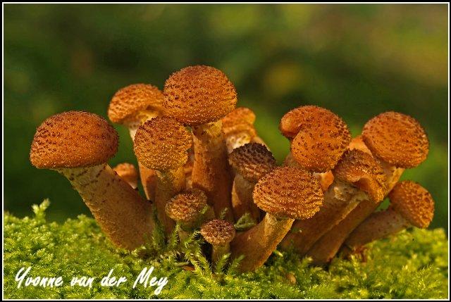 Sombere honingzwammen (Copyright Yvonne van der Mey)