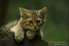 Wilde-kat-kitten-copyright-YvonnevanderMey