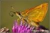 Drinkende vlinder (Copyright Yvonne van der Mey)