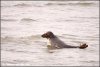Grijze zeehond / Grey seal (Copyright Yvonne van der Mey)