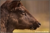 Portret damhert / Portrait fallow deer (Copyright Yvonne van der Mey)
