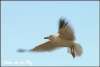 Vliegende meeuw Copyright Yvonne van der Mey