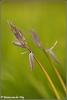 Wilde hyacinten (Copyright Yvonne van der Mey)