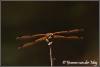 Witsnuitlibel (Copyright Yvonne van der Mey)
