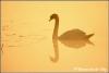 Zwaan in wieden weerribben / Swan (Copyright Yvonne van der Mey)