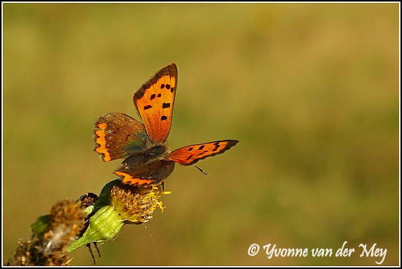Vlinder (Copyright Yvonne van der Mey)
