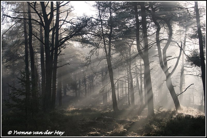 Zonnebanen in het bos / Sunrays in a forest (Copyright Yvonne van der Mey)