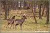 damherten-fallow-deer-copyright-yvonnevandermey