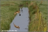 haas-springt-over-sloot-hare-jumps-over-water-copyright-yvonnevandermey