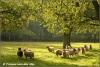 kudd-schapen-in-ochtendlicht-herd-of-sheep-in-morninglight-copyright-yvonnevandermey