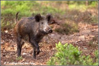 wild-zwijn-wild-pig-copyright-yvonnevandermey